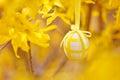 Easter egg on forsythia haniging beautiful Royalty Free Stock Photos