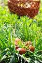 Easter eggs and basket in the grass Royalty Free Stock Photos