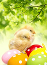 Easter eggs and chickens newborn Royalty Free Stock Images
