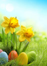Easter eggs and daffodil flower on meadow Royalty Free Stock Photos