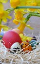 Easter eggs with daffodils painted in a nest Royalty Free Stock Photos
