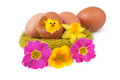 Easter Eggs Decoration Nest Yellow Chicks Royalty Free Stock Photo