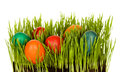Easter eggs in grass grown indoors Royalty Free Stock Photos