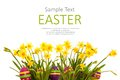 Easter eggs hiding in the grass with daffodil horizontal banner isolated on white background Stock Image