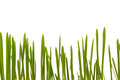 Easter grass cat grass individual blades of in front of white background Royalty Free Stock Photos