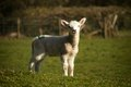 Easter lamb a in looking towards the photographer in a field in wales Stock Photos