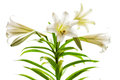 Easter lilies high key lilium longiflorum blossoms also called or november lily presented in against a white background Royalty Free Stock Photo