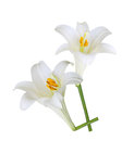 Easter lily fresh flowers isolated on white background Stock Photo