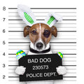 Easter mugshot dog bad with broken eggs Stock Images