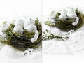 Easter nest iii dual image of white speckled eggs in a grass bird s against a white background concept image for spring or copy Royalty Free Stock Photography