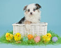 Easter puppy a cute little australian shepherd sitting in an basket with eggs and baby chicks around her Royalty Free Stock Image