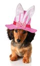 Easter puppy longhair dachshund wearing an bunny hat Stock Photo