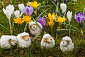 Easter- or spring decoration - sheep with crocus Royalty Free Stock Photography