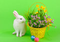 Easter sweet fluffy white bunny basket daffodils other flowers colored eggs green background Royalty Free Stock Images