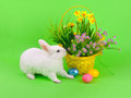 Easter sweet fluffy white bunny basket daffodils other flowers colored eggs green background Stock Photo