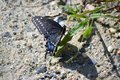 Easter tiger swallowtail butterfly Royalty Free Stock Photo