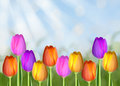 Easter tulip field with abstract bokeh background and sun rays Royalty Free Stock Photo