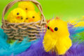 Easter yellow chickens, basket, feathers. Stock Photo