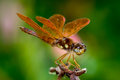 Eastern amberwing dragonfly against pink flower Stock Images