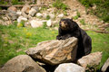 Eastern american black bear lying on rocks a large ursus americanus rests itself a pile of rocky boulders Royalty Free Stock Photography