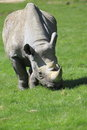 Eastern black rhinoceros strolling on the grass Royalty Free Stock Image