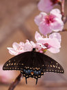 Eastern black swallowtail butterfly feeding on a peach blossom dorsal view of an in early spring Stock Photo