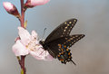 Eastern black swallowtail butterfly feeding on a peach blossom in early spring Stock Photo