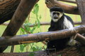 Eastern black and white colobus the adult on the tree Royalty Free Stock Photography