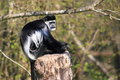 Eastern black and white colobus monkey the sitting on the stub Stock Images