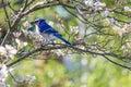 Eastern Blue Jay in White Flowering Dogwood Tree Royalty Free Stock Photo