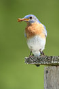 Eastern Bluebird with a Beetle in its Beak Royalty Free Stock Images