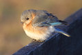 Eastern bluebird chick perched on a fence Stock Images