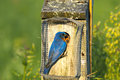 Eastern bluebird feeding a male the babies on a bright spring day Royalty Free Stock Photos