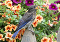 Eastern Bluebird with flowers Royalty Free Stock Photos
