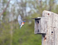 Eastern Bluebird flying Stock Photo
