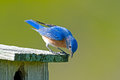 Eastern bluebird male sitting on a nest box Royalty Free Stock Photography
