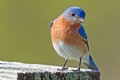 Eastern bluebird male sitting on a nest box Stock Photos