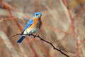 Eastern bluebird male sitting on a tree branch Royalty Free Stock Images