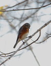 Eastern bluebird an perched on a branch Royalty Free Stock Image
