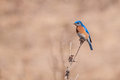 Eastern bluebird perched on a branch Stock Photo