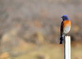 Eastern bluebird perched on a post looking left Stock Images