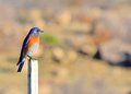 Eastern bluebird perched on a post looking right Stock Photography