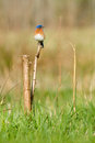 Eastern bluebird sialia sialis Royalty Free Stock Image