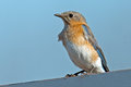 Eastern bluebird sitting on a post Stock Photo