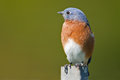 Eastern bluebird sitting post head turned Royalty Free Stock Photography