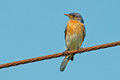 Eastern bluebird sitting on a wire Royalty Free Stock Photography