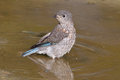 Eastern bluebird taking a bath Royalty Free Stock Photos