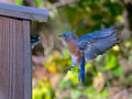 Eastern bluebird visits downy woodpecker flies over to evict from his nestbox Royalty Free Stock Photo