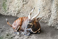 Eastern bongo close up of an lying down Royalty Free Stock Image