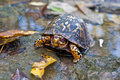 Eastern Box Turtle Royalty Free Stock Images
